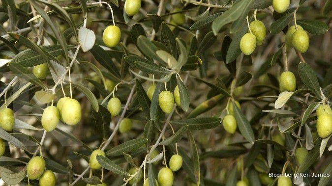 4 Manfaat minyak zaitun untuk kulit: Melembapkan dan antioksidan