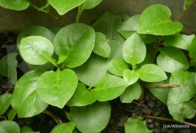 12 Manfaat daun binahong untuk kesehatan yang jarang diketahui