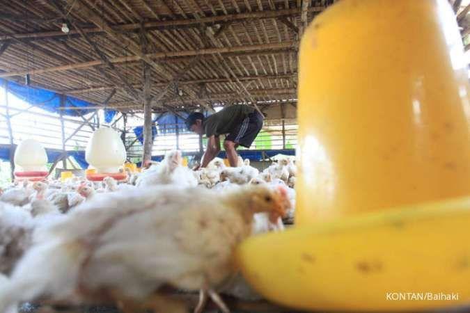 Pemerintah berencana beri subsidi pada jagung, simak rekomendasi saham poultry