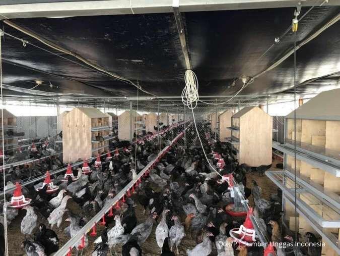 Ternak ayam kampung: Modal kecil, bisa ciptakan ladang uang