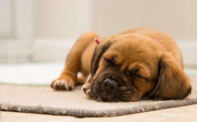 Perasaan dan kesehatan anjing dilihat dari posisi dan kebiasaan tidur