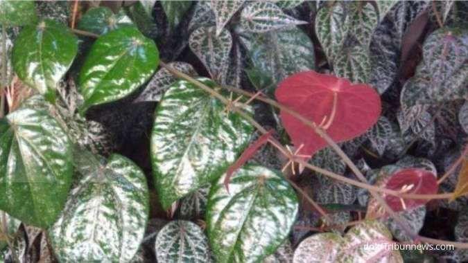 Sederet manfaat daun sirih merah untuk kesehatan