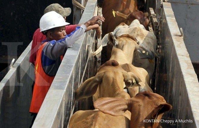 Tahun ini, impor sapi indukan hanya 25.000 ekor