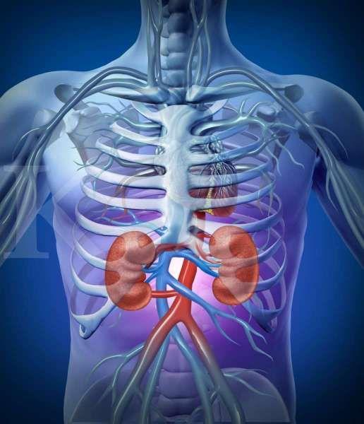 Struktur anatomi ginjal manusia serta fungsinya bagi tubuh