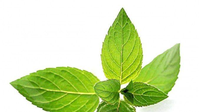 5 manfaat daun mint ini berguna untuk kesehatan Anda, lo