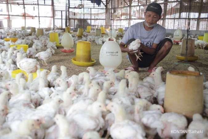 Harga ayam masih jatuh, Pinsar Indonesia desak pemerintah lakukan afkir dini