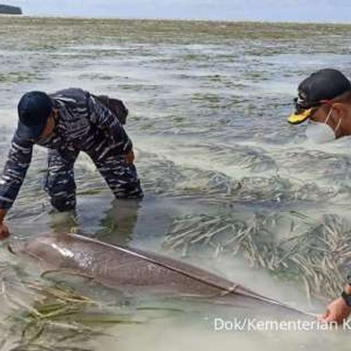 KKP Selamatkan Dugong Terjerat Jaring Nelayan