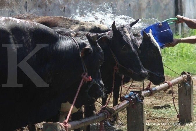 PPSKI: Belum ada program matang swasembada sapi
