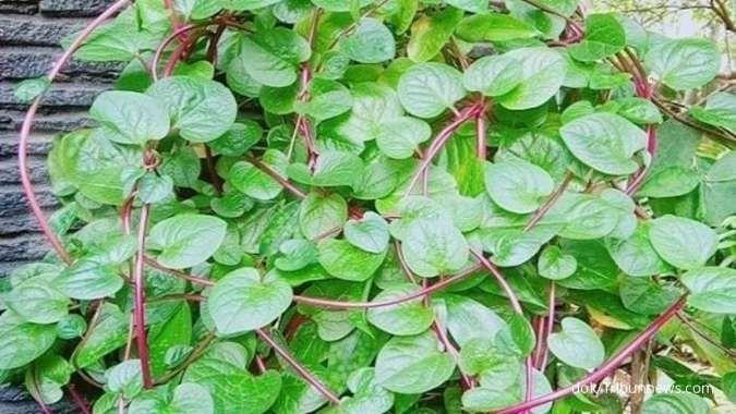 5 Manfaat daun binahong yang berguna untuk kesehatan