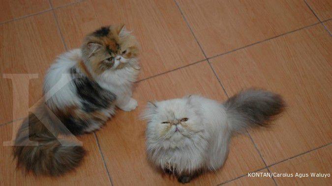 Harga Kucing Persia mahal? Ini alasannya