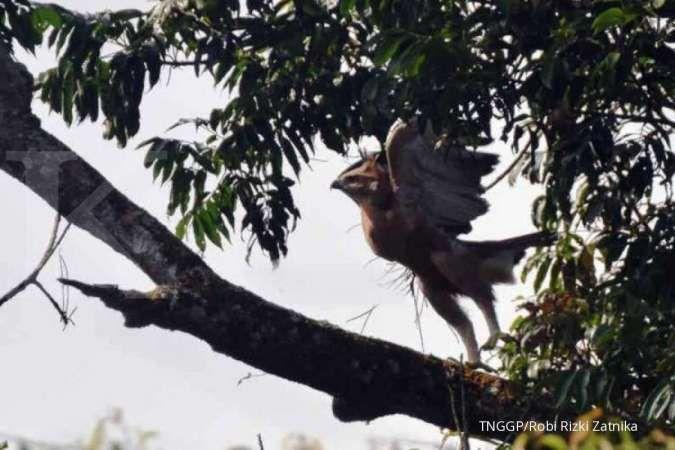 Keberadaan burung garuda kembali ditemukan
