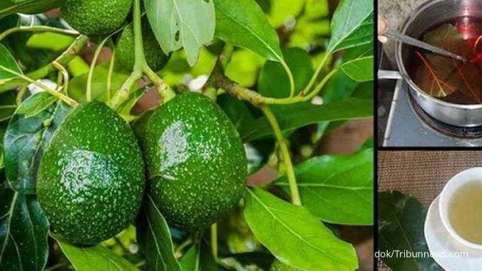 Mengobati batu ginjal, ini manfaat teh daun alpukat untuk kesehatan