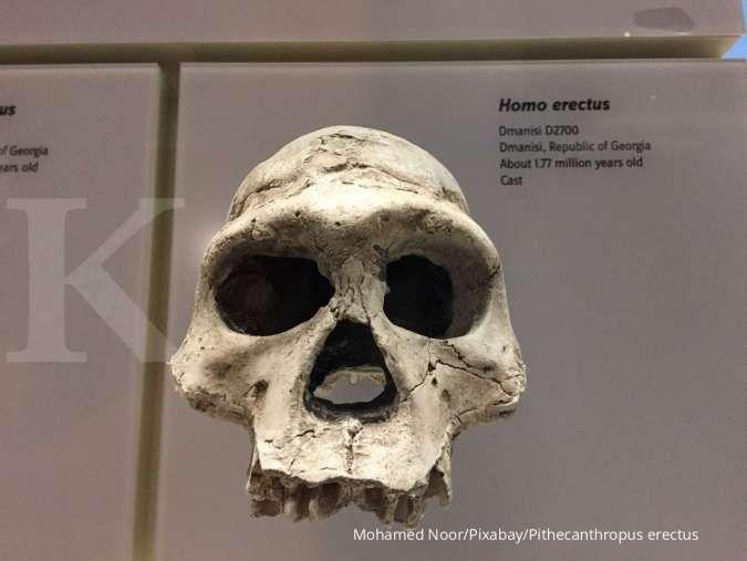Mengenal Pithecanthropus erectus dan ciri-cirinya