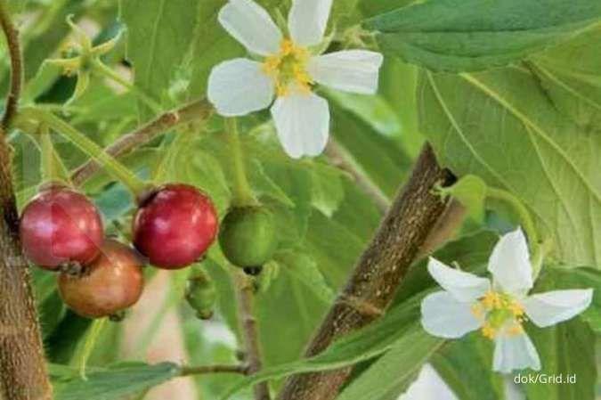 Minum air rebusan daun kersen efektif mengobati asam urat
