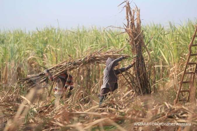 Petani tebu khawatirkan potensi banjir impor gula, ini sebabnya