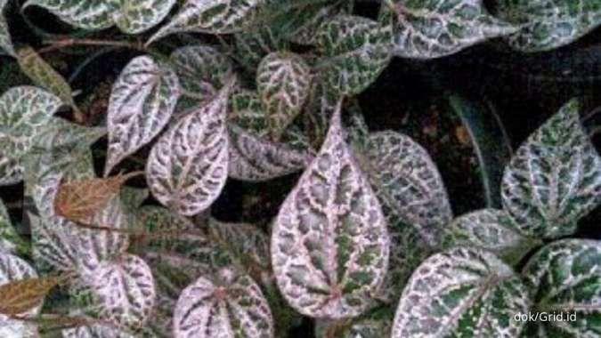 Bisa membantu menurunkan gula darah, ini manfaat daun sirih merah untuk kesehatan