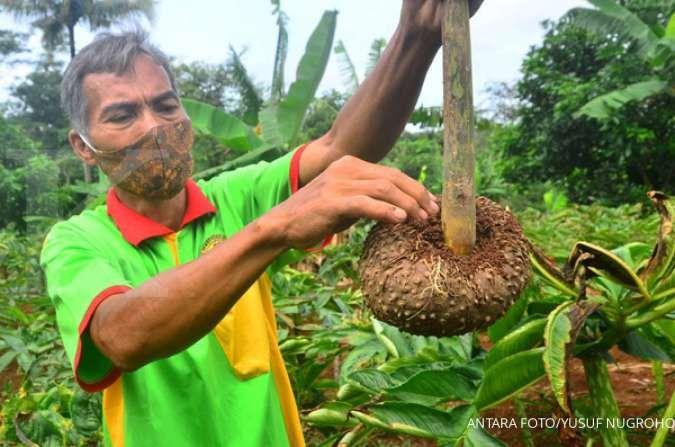 Tanam porang, petani di desa ini bisa raup untung hingga ratusan juta sekali panen