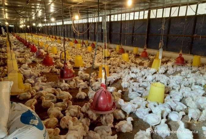 Prospek saham poultry akan membaik seiring kenaikan harga ayam, analis jagokan saham JPFA dan CPIN..foto/KONTAN/Elisabeth Adventa Previtapuri