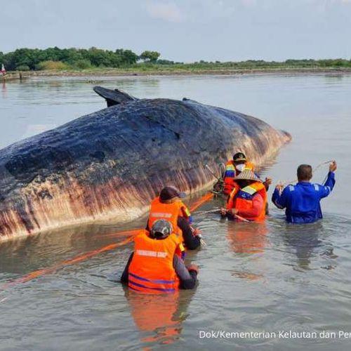 KKP Siapkan Langkah Prioritas Tangani Megafauna Laut Terdampar