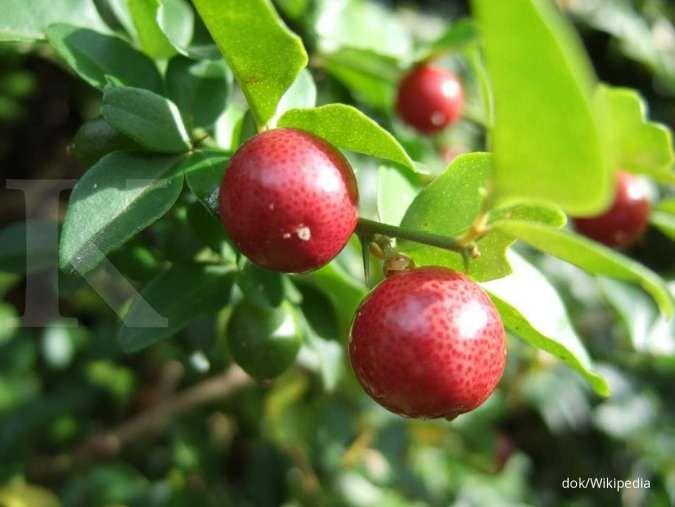 Anda diserang batuk? Jeruk Kingkit bermanfaat sebagai obat herbal untuk batuk