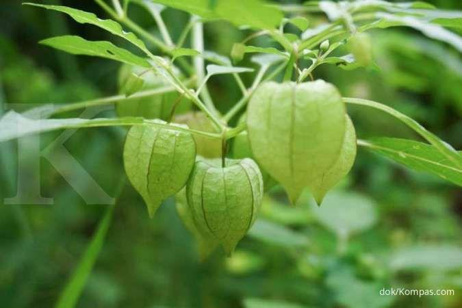 Ciplukan bermanfaat sebagai obat herbal diabetes melitus