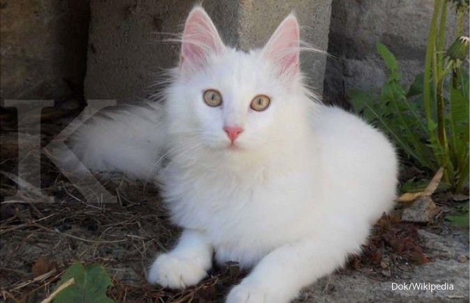Daftar harga kucing anggora, panduan bagi yang ingin memeliharanya