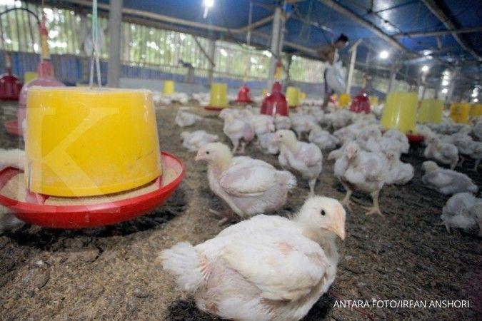 Para peternak berharap kebijakan baru Ditjen PKH kerek harga ayam broiler
