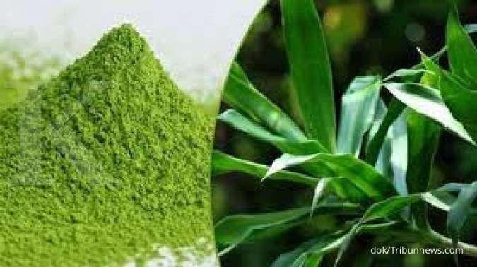 Cari obat herbal untuk kolesterol, daun suji bisa menjadi pilihan