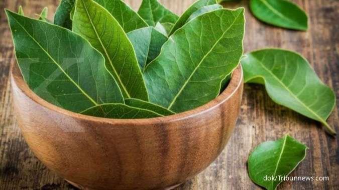 Daun salam bermanfaat sebagai obat herbal diabates melitus