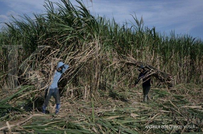 Pengembangan kebun benih datar (KBD) dinilai bisa sukseskan swasembada gula