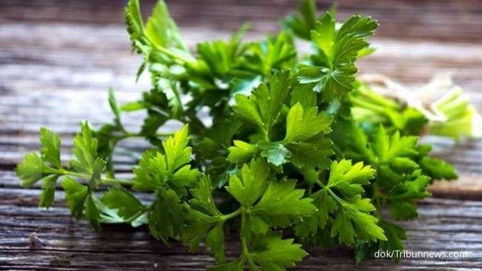 Daun dan batang seledri bermanfaat sebagai obat herbal asam urat