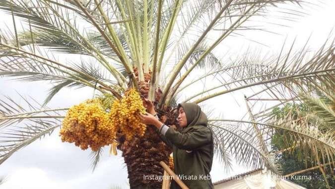 Pertama di Indonesia, ada Wisata Kebun Kurma di Pasuruan