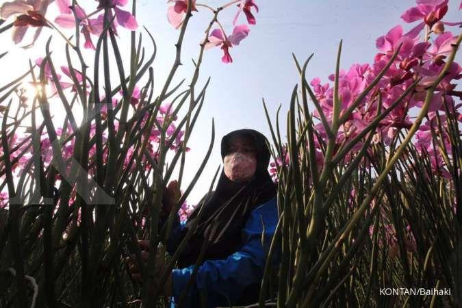 Salah satu cara merawat anggrek adalah dengan membersihkan bunga yang mati agar tak mengganggu pertumbuhan bunga.
