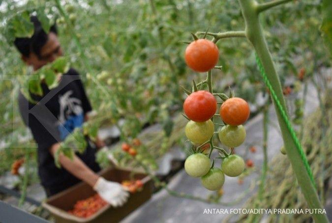5 Cara menanam tomat terbaik supaya berbuah lebat