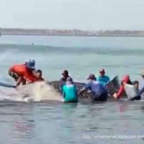 KKP Bersama Nelayan Selamatkan Dua Ekor Hiu Paus yang Terjerat Perairan Cilacap