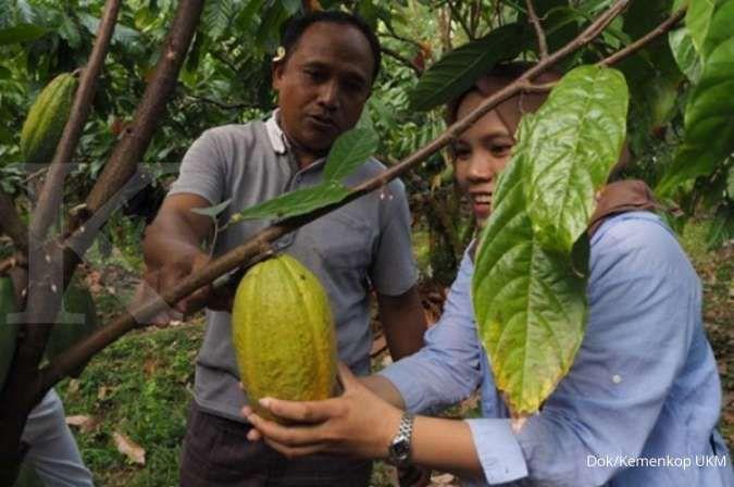 Punya potensi, industri kakao masih terkendala bahan baku