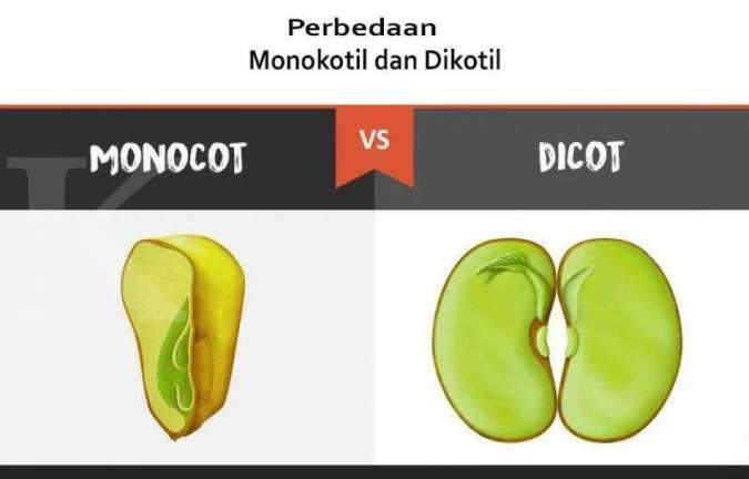 Perbedaan tumbuhan monokotil dan dikotil, dari bunga ...