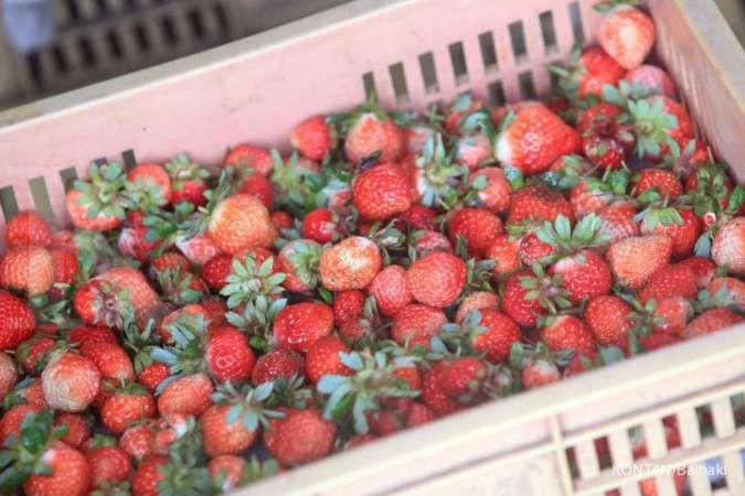 Khasiat buah stroberi untuk kesehatan, dari sumber antioksidan hingga kontrol gula