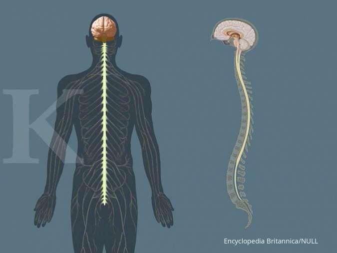 Mengenal sistem saraf manusia beserta jenis dan fungsinya