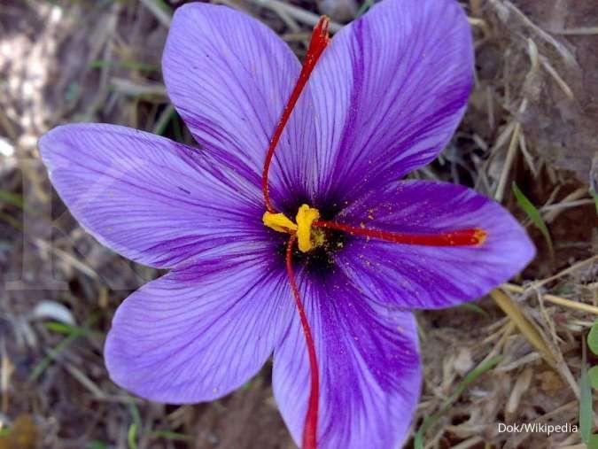 Baik untuk kesehatan tubuh, inilah 4 manfaat saffron