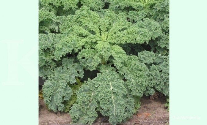 Kale adalah salah satu jenis makanan yang mengandung kalsium.