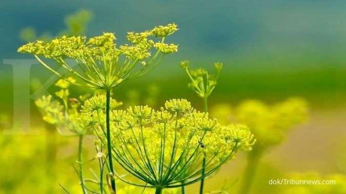Manfaat adas sebagai obat herbal untuk batuk sampai asam urat
