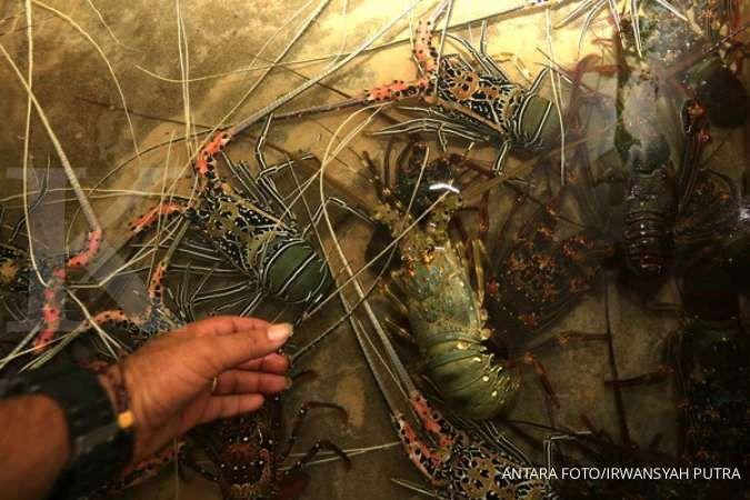 KKP Lepasliarkan 250 ekor lobster hasil budidaya di kawasan konservasi