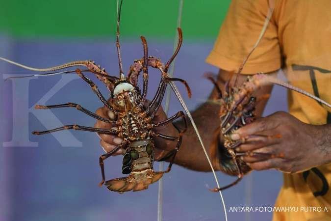 Pekerja memperlihatkan lobster siap kirim di Morotai, Maluku Utara, Selasa (8/10/2019). Budidaya lobster oleh debitur BNI tersebut dihargai Rp200 ribu per kilogram dari nelayan untuk selanjutnya didistribusikan ke Jakarta dam Manado. ANTARA FOTO/ Wahyu Pu