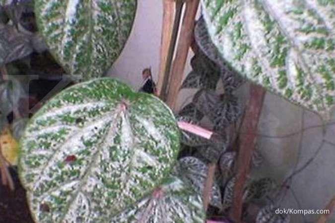 Air rebusan daun sirih merah efektif mengobati diabetes, benarkah?