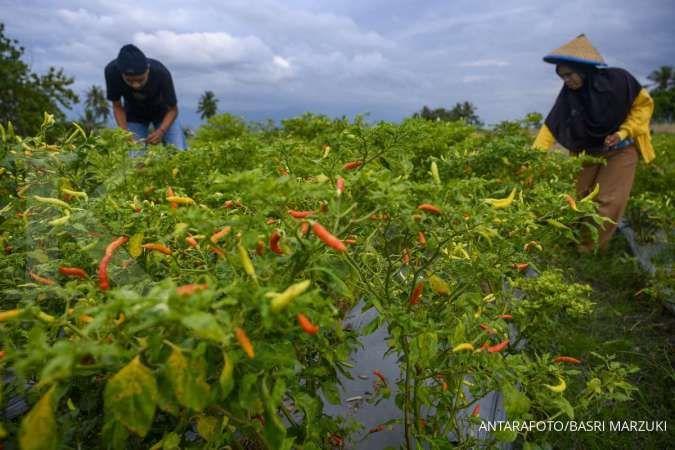 Petani memanen tanaman cabainya di Desa Porame, Kabupaten Sigi, Sulawesi Tengah, Kamis (1/10/2020).