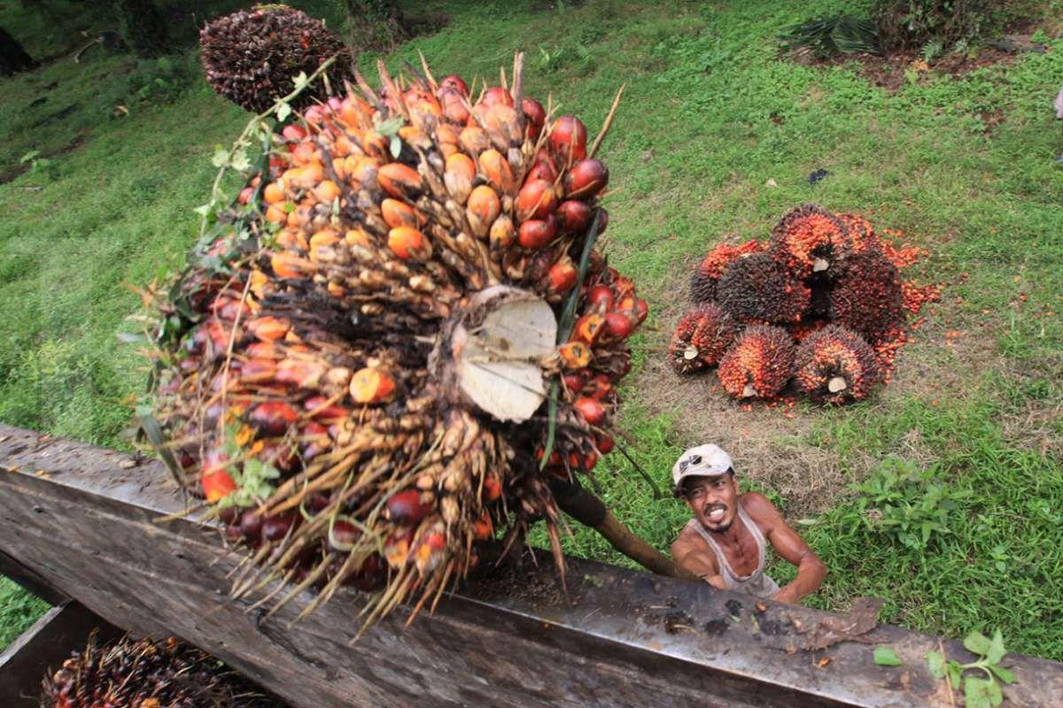 Panen kelapa sawit