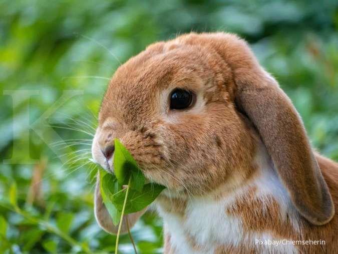 Aturan Dalam Memberikan Makanan kepada Kelinci Peliharaan