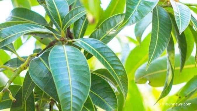 7 Manfaat daun mangga untuk kesehatan yang belum banyak diketahui