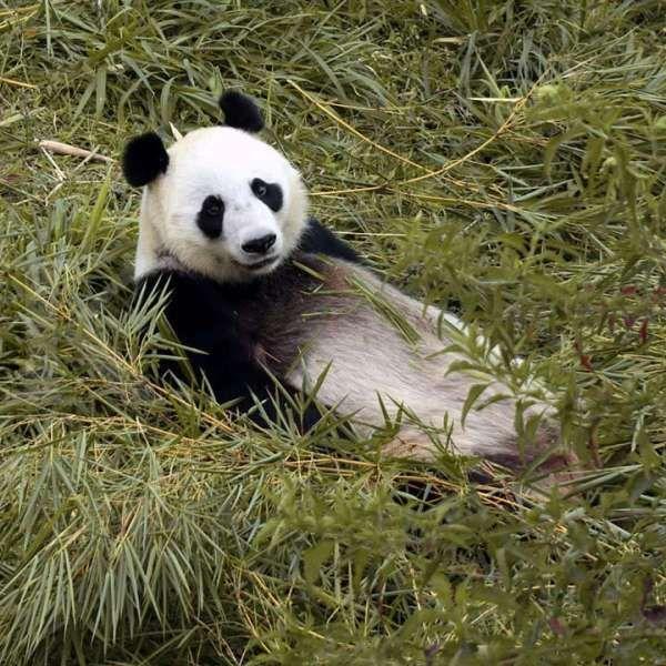 Panda Hu Chun